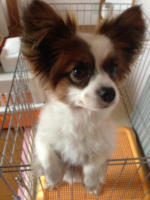 驚く愛犬パピヨン