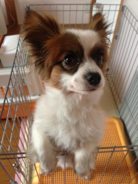 身を乗り出す愛犬パピヨン