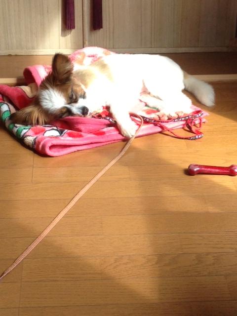 陽だまりの愛犬パピヨン