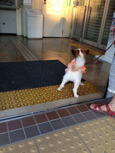 銀行に入る愛犬パピヨン