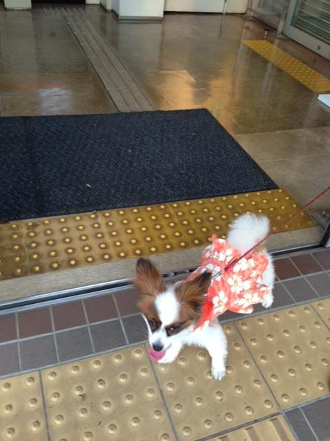 銀行から出る愛犬パピヨン