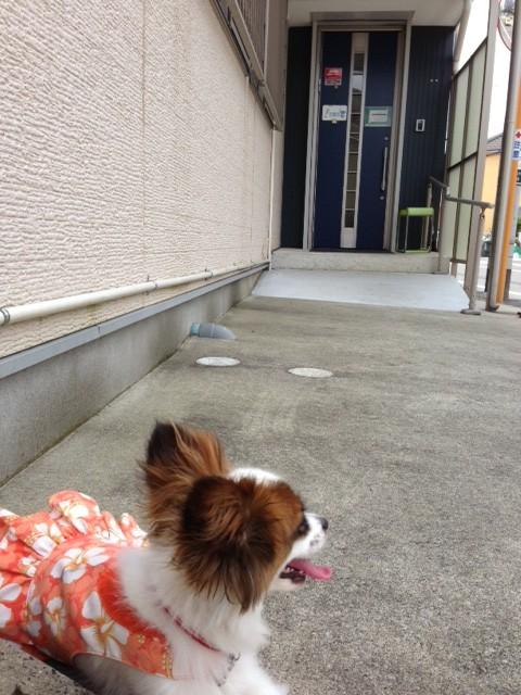 病院前で息遣いの荒い愛犬パピヨン