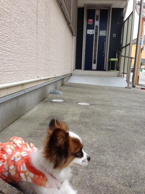 大人しく待つ愛犬パピヨン