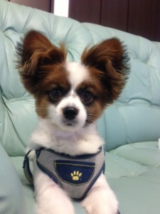 男の子の洋服の愛犬パピヨン