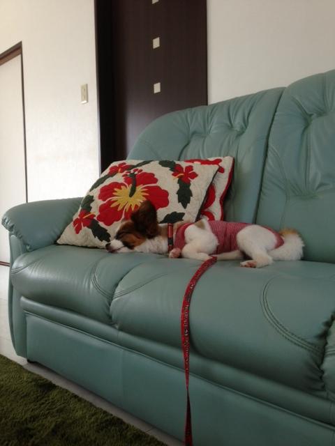 寝転がってる愛犬パピヨン