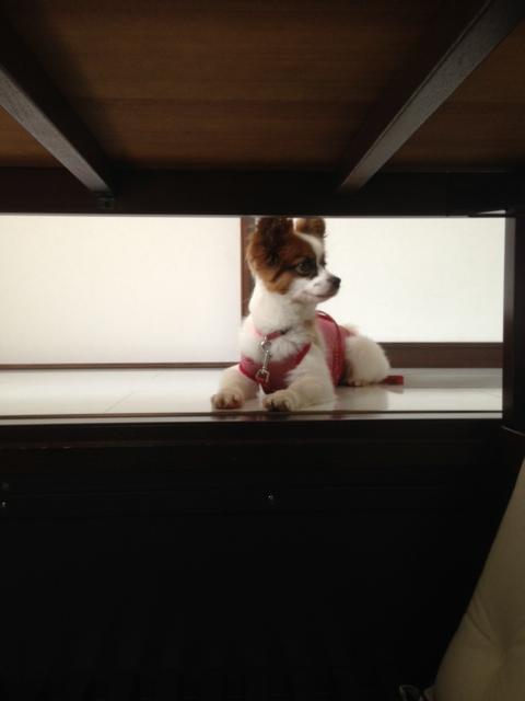遠くを見る愛犬パピヨン