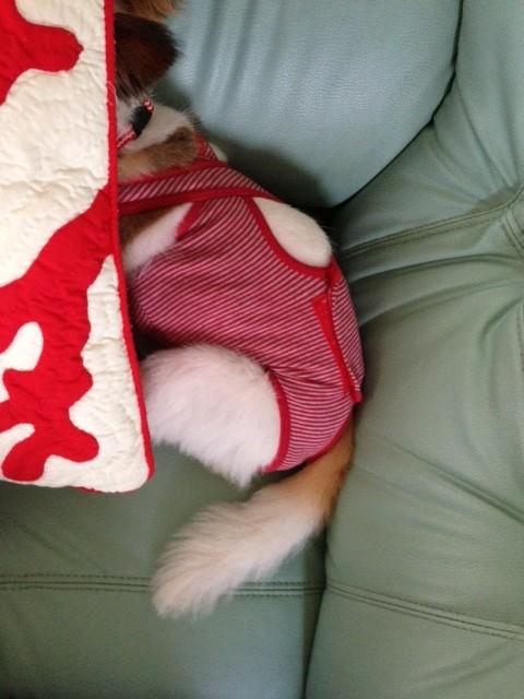クッションに頭をうずめる愛犬パピヨン