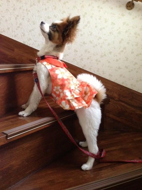 階段にいる愛犬パピヨン
