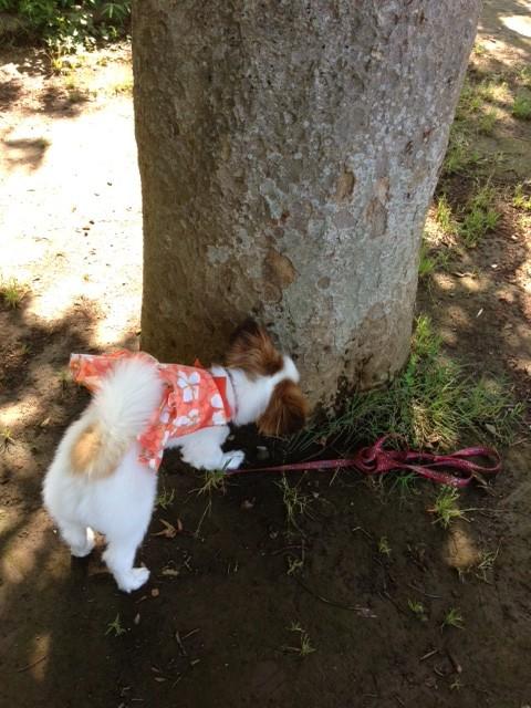 愛犬パピヨンと大きな木
