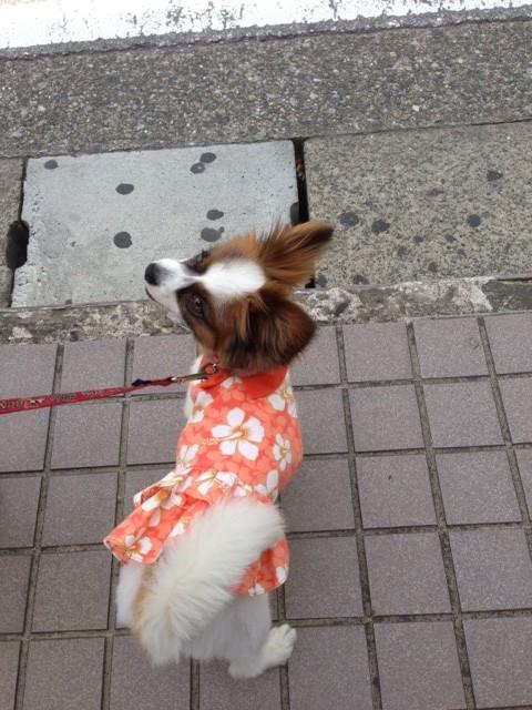 お散歩に出かける愛犬パピヨン