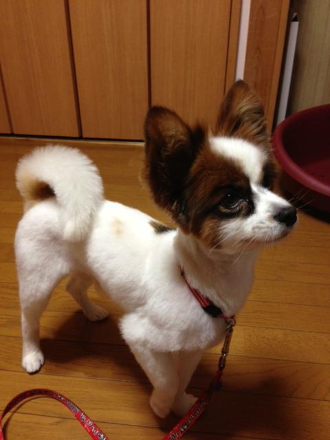 愛犬パピヨン