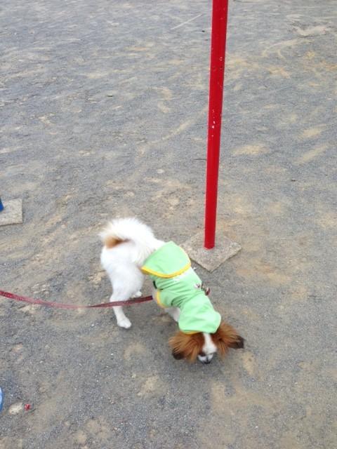 公園でのパピヨン