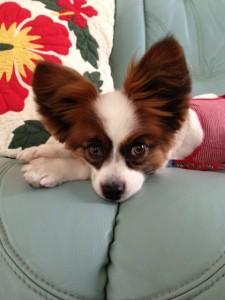 女の子の服の愛犬パピヨン
