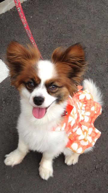 満面の笑みの愛犬パピヨン