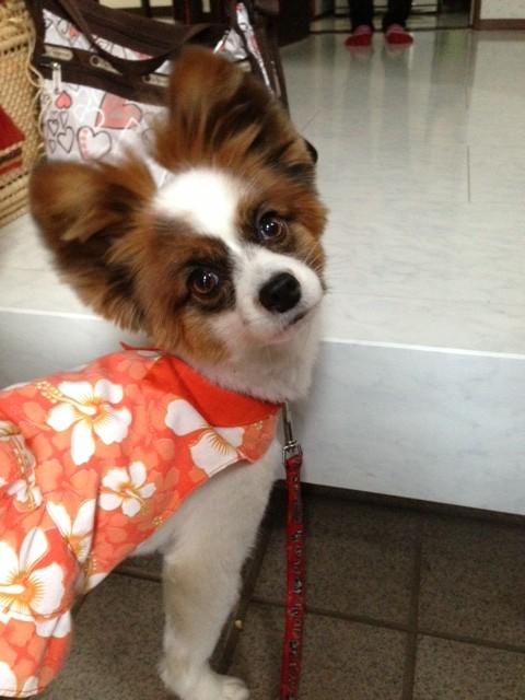 玄関で振り返る愛犬パピヨン
