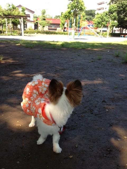 振り返る愛犬パピヨン