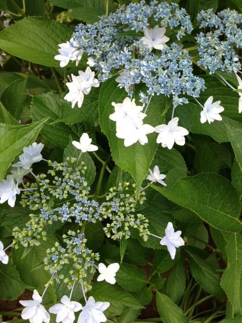 ブルーと白の紫陽花