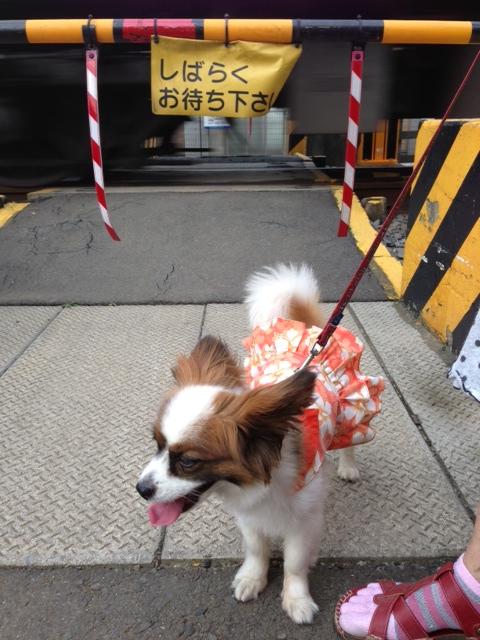 踏み切り前に立つ愛犬パピヨン