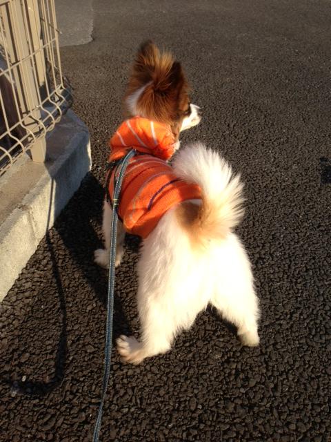 愛犬パピヨンの後ろ姿