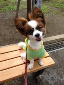 男の子の服の愛犬パピヨン