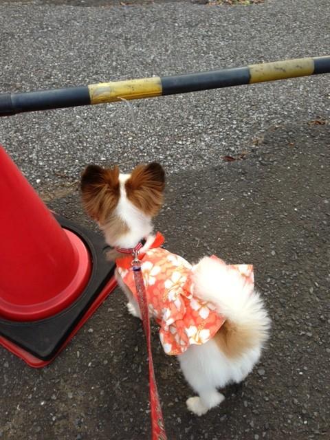 立ち入り禁止の前に立つ愛犬パピヨン