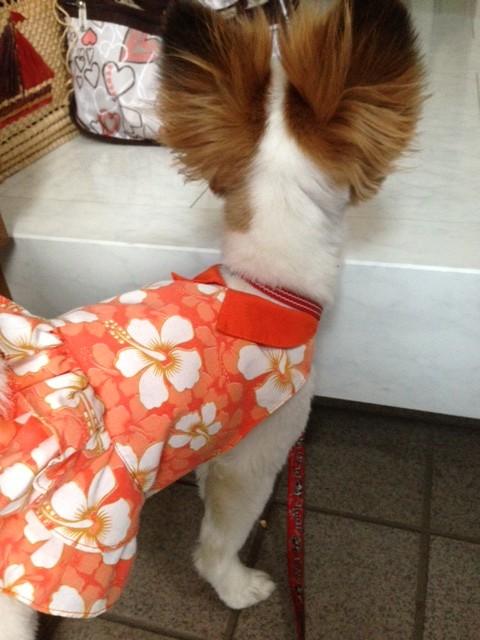 玄関で待つ愛犬パピヨン