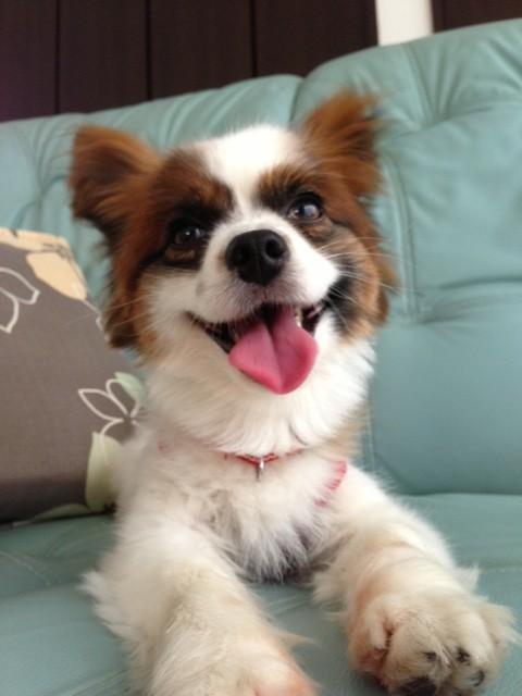 暑がる愛犬パピヨン