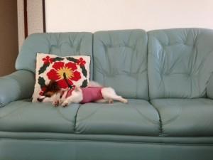 暑さでそふぁーに寝転がる愛犬パピヨン