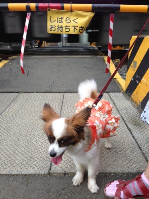 踏み切り前の愛犬パピヨン