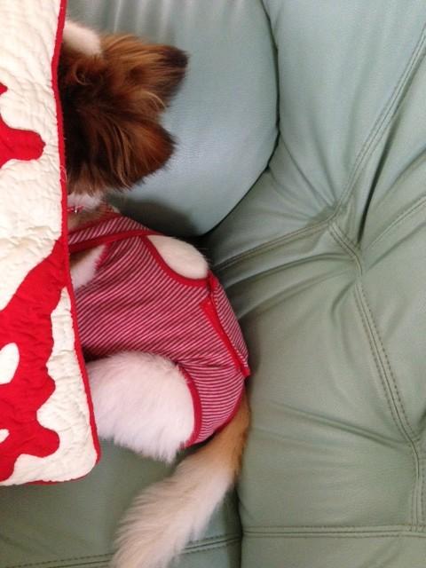 クッションにうずまる愛犬パピヨン