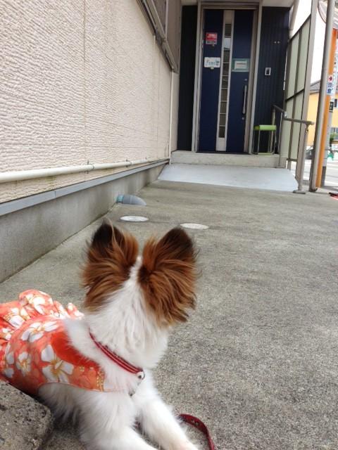 病院前で待つ愛犬パピヨン