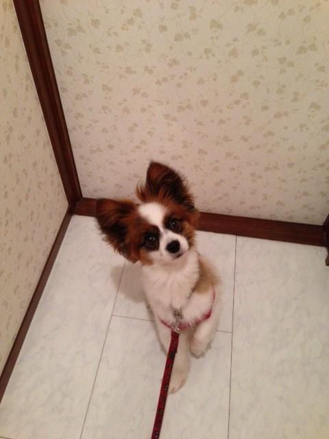 愛犬パピヨンがドア前で佇む姿