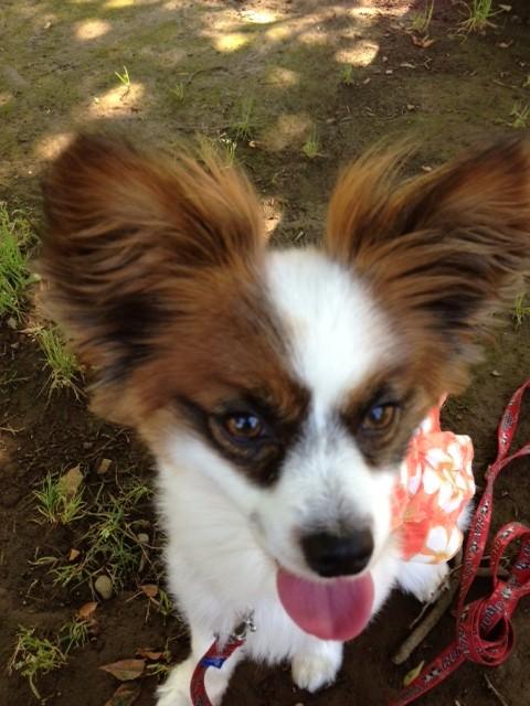 ベンチで笑ってる愛犬パピヨン