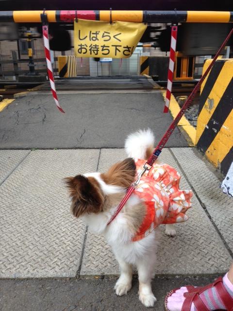 踏み切りを振り返る愛犬パピヨン