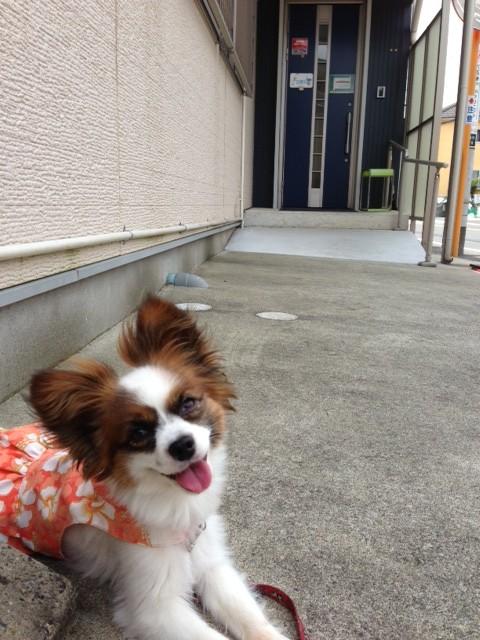 にっこり微笑む愛犬パピヨン