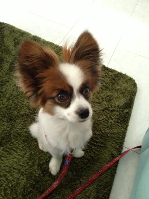 目の前に座る愛犬パピヨン
