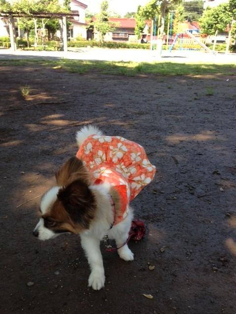 走る愛犬パピヨン