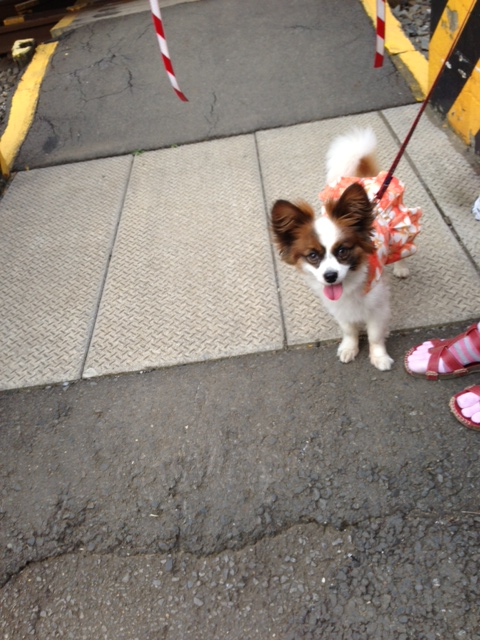 笑顔の愛犬パピヨン