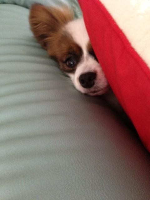 クッションの間から見え隠れする愛犬パピヨン