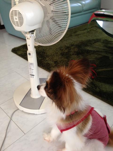扇風機の前で佇むパピヨン