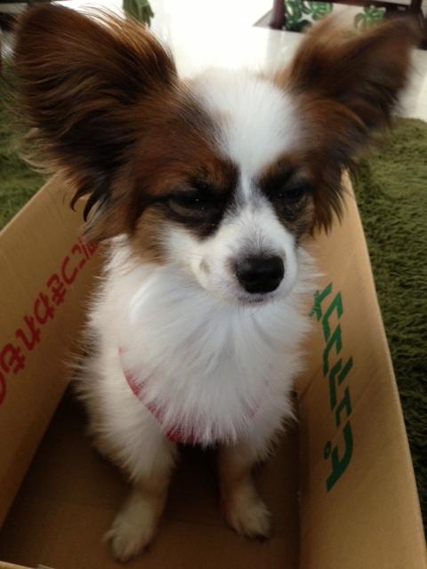 ダンボルの中の愛犬パピヨン