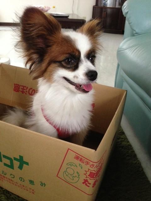 愛犬パピヨンとダンボール箱