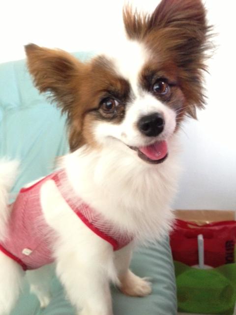 心配そうな愛犬パピヨン