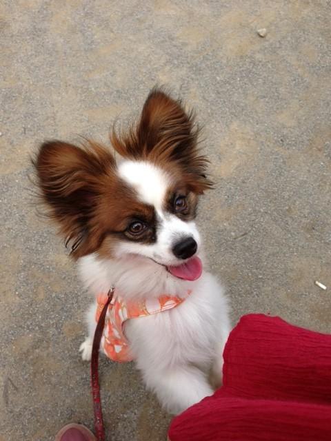 駆け寄ってくる愛犬パピヨン