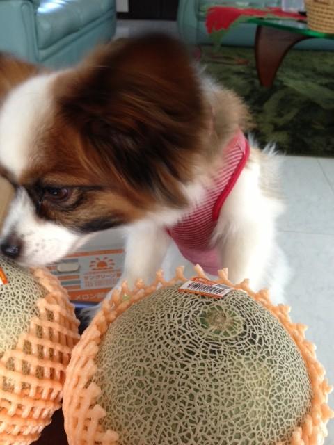 愛犬パピヨンがメロンを必死に嗅ぐ姿
