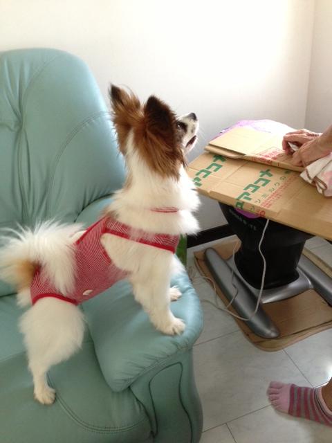 ダンボールを見つめる愛犬パピヨン