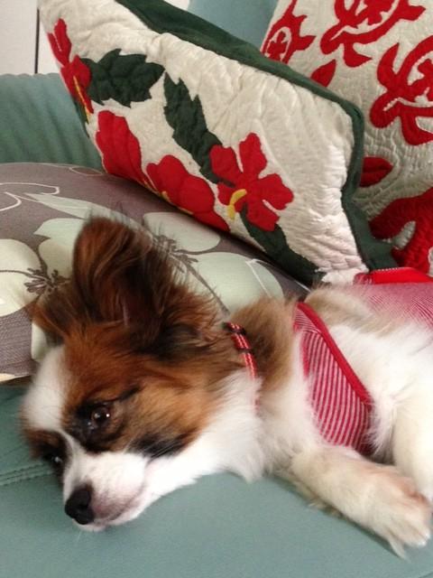 横になって目を開いてるパピヨン