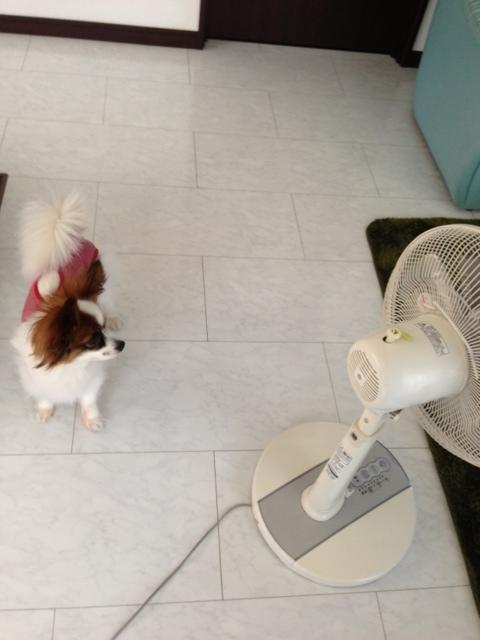 扇風機に気づくパピヨン
