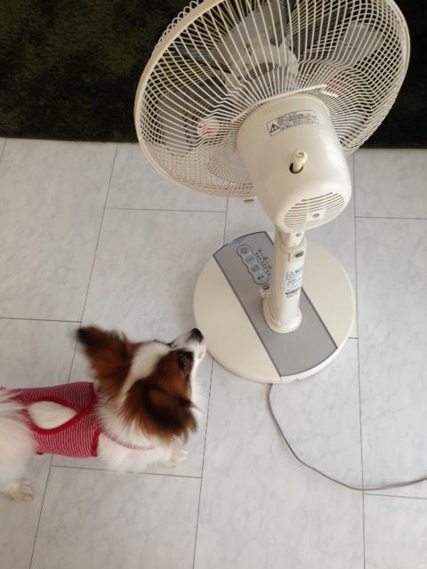 扇風機に近づくパピヨン