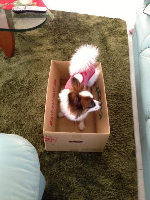 ダンボール箱に入るパピヨン
